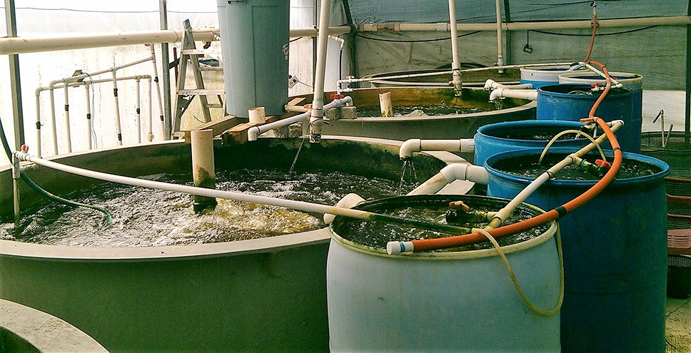 Reuse of water from biofloc technology for intensive culture