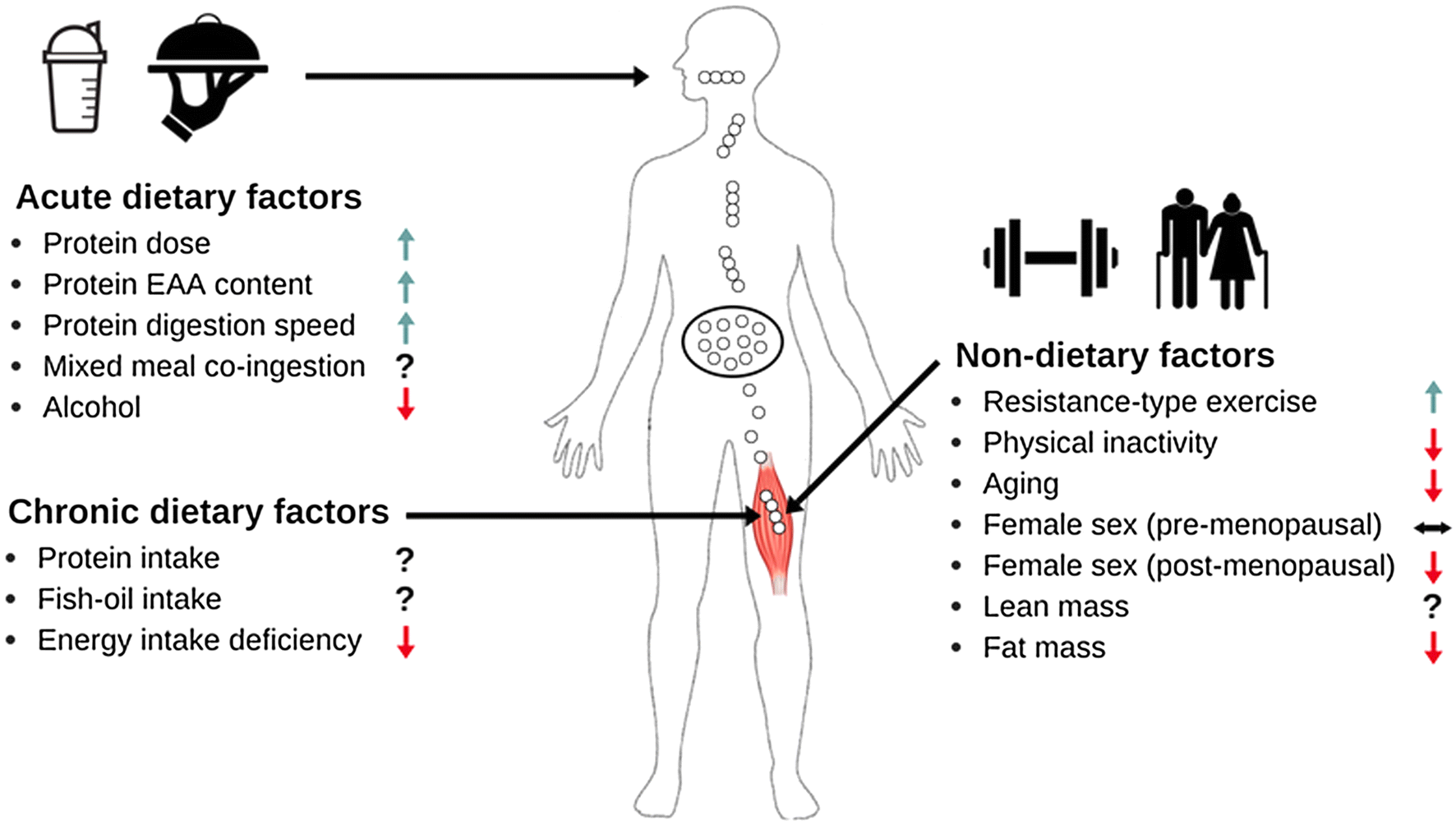 The Muscle Protein Synthetic Response to Meal Ingestion Following