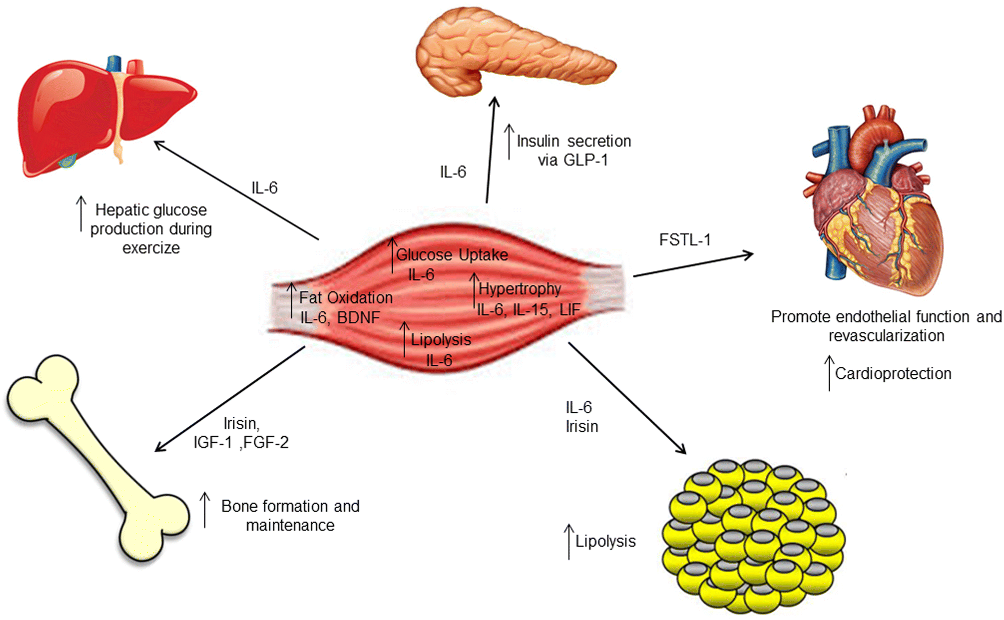 Muscle endocrinology and its relation with nutrition