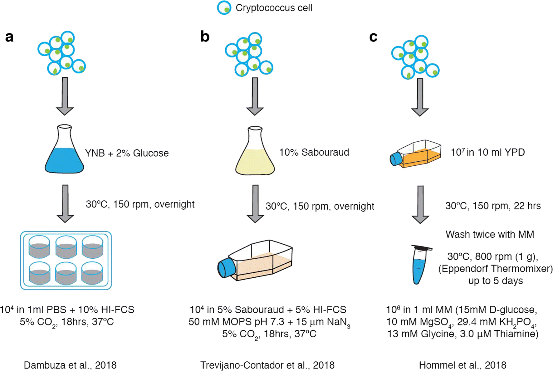 The Cryptococcus neoformans Titan Cell: From In Vivo