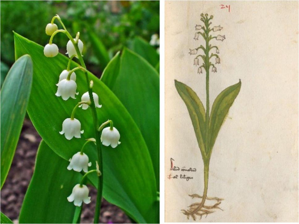 Lily Of The Valley Fragrances Springerlink