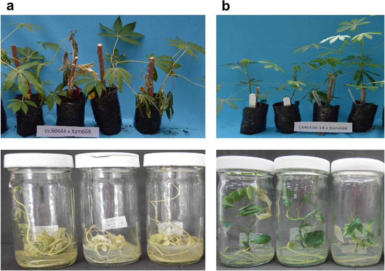 Using in vitro plants to study the cassava response to