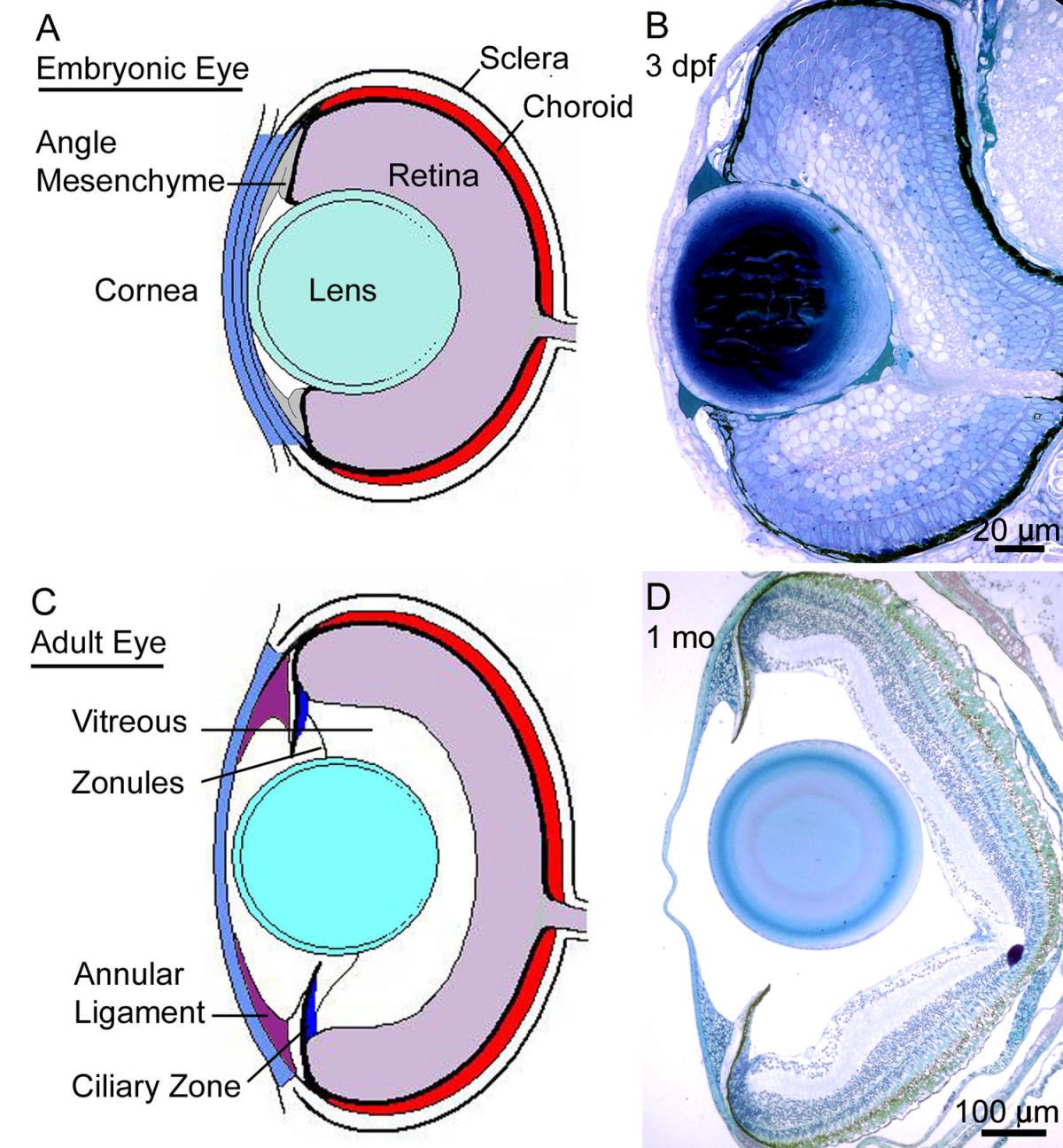 Morphogenesis of the anterior segment in the zebrafish eye open image in new window pooptronica Choice Image