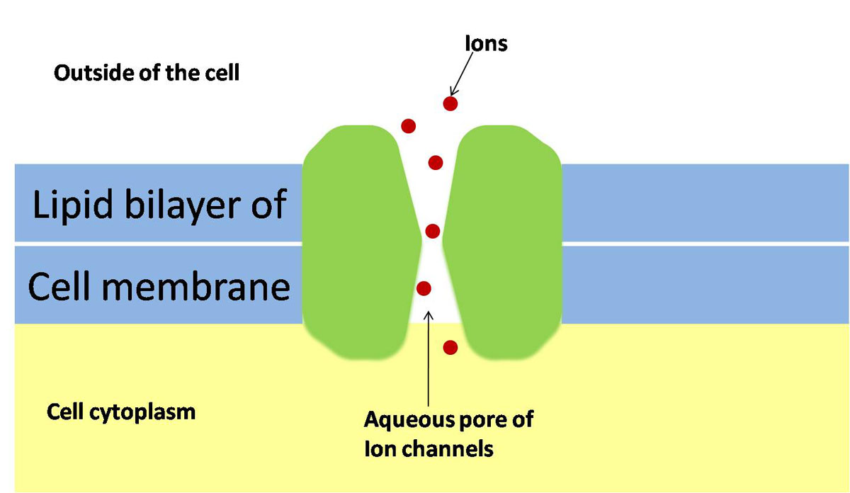 effect of detergent concentration on membrane Effect of salt on cell membranes lab cell 2 which salt concentration(s) had the least effect on the beet membrane how did you arrive at this conclusion.