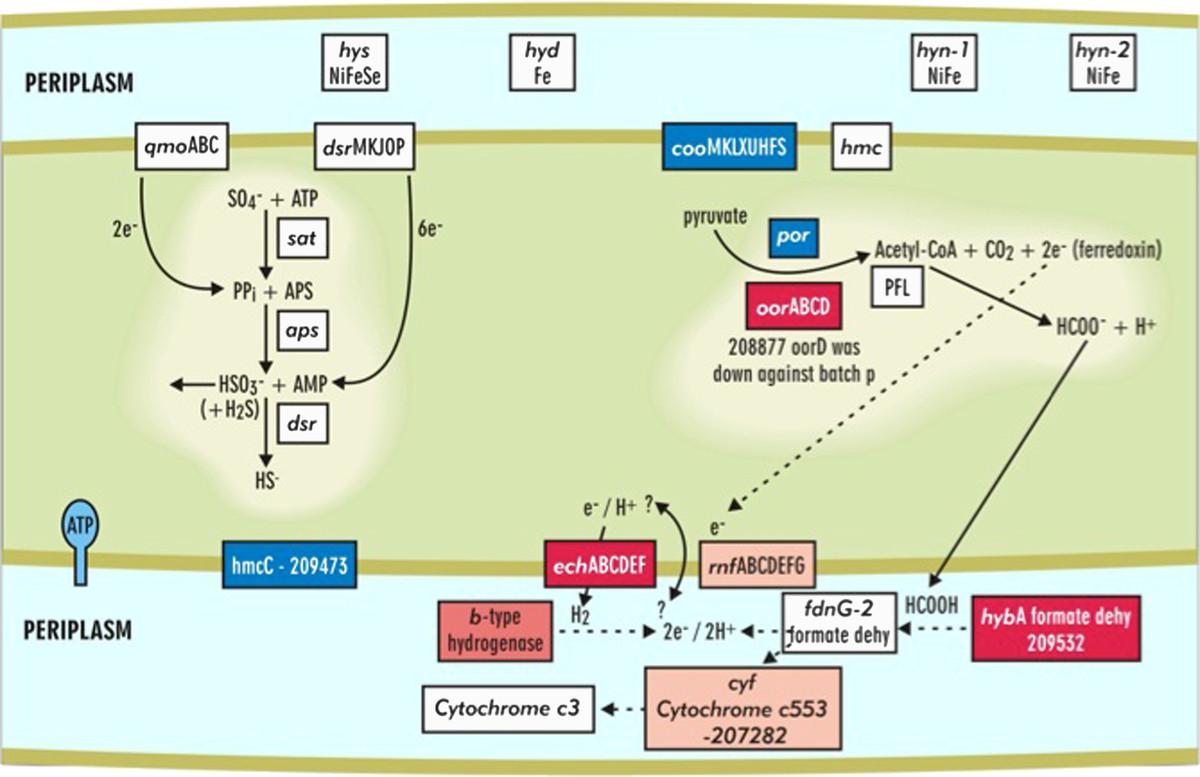 Transcriptomic and proteomic analyses of Desulfovibrio