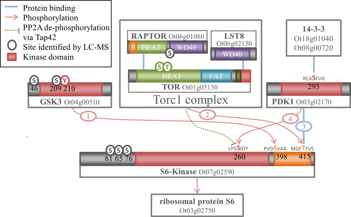 The Reduced Kinome Of Ostreococcus Tauri Core Eukaryotic Signalling Y210 Circuit Diagram Figure 5 Schematic