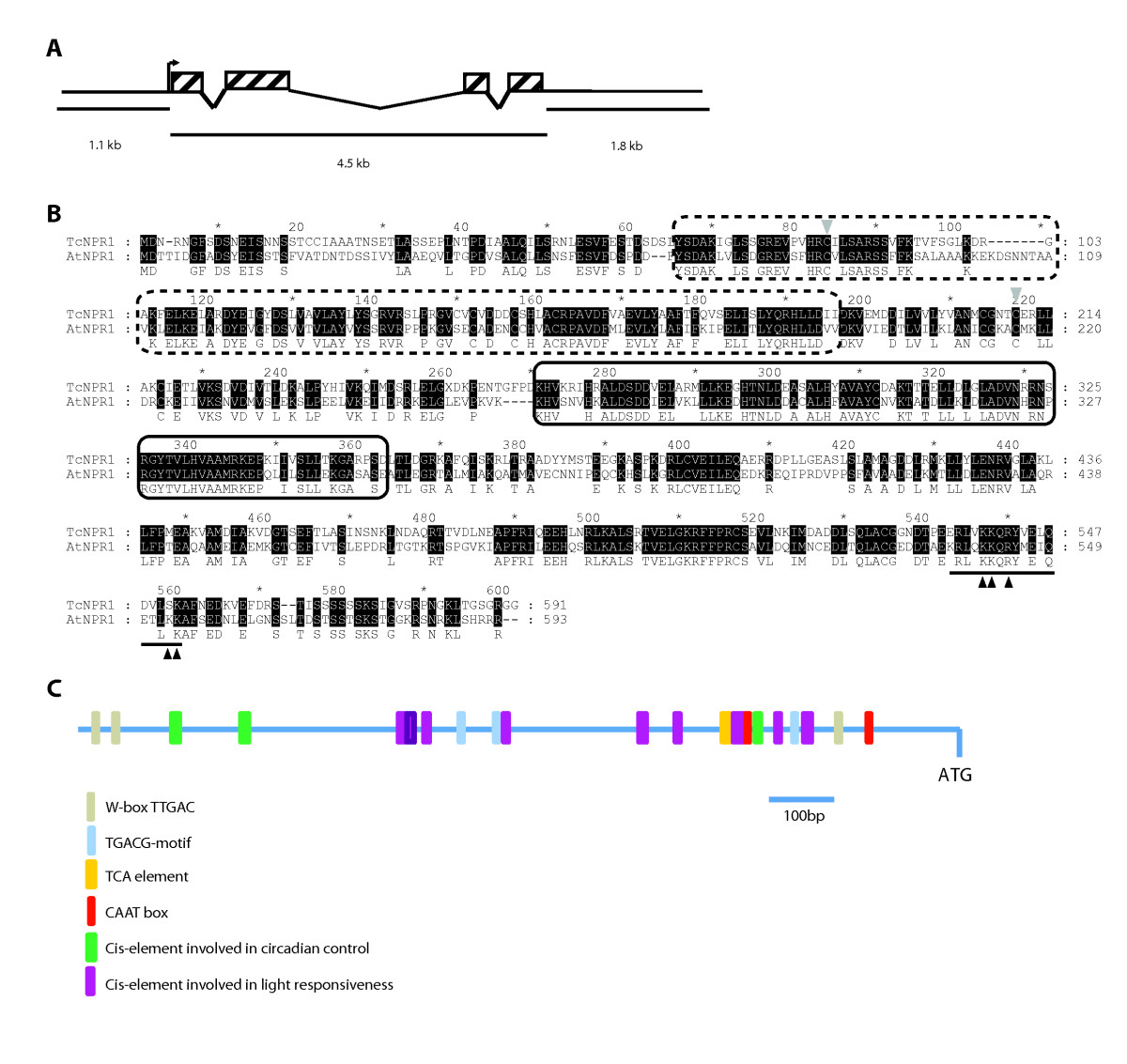 functional analysis of the theobroma cacao npr1 gene in