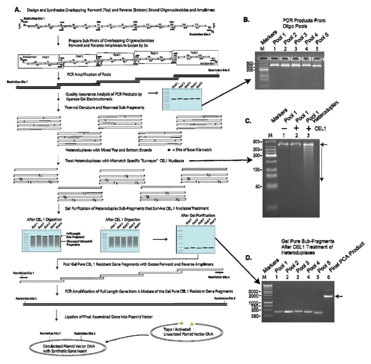 Gene Composer Database Software For Protein Construct Design Codon Pentium 4 Block Diagram Open Image In New Window