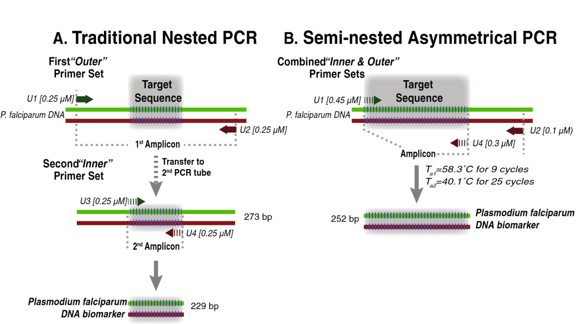 optimization of asymmetric pcr for generation of Pcr has a number of disadvantages that reverse primer 2 μl must be considered before adopting the pcr taq dna polymerase 5 μl system: - pcr has relatively low discriminating advantages of pcr: power in compared to rflp technology.