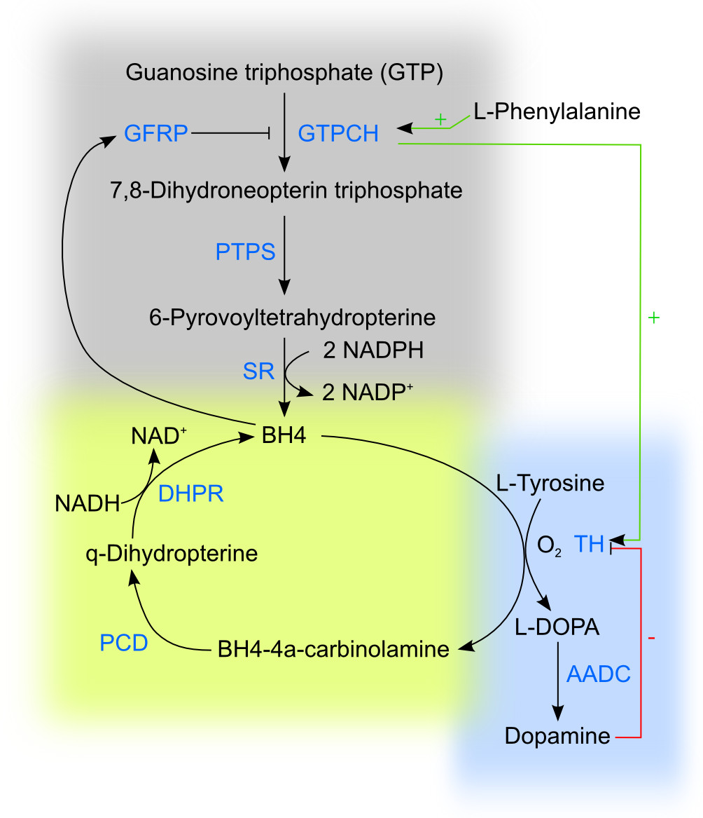 Bildresultat för Tyrosine, Dopamine, Dopacrome, Substantia nigra , neurone