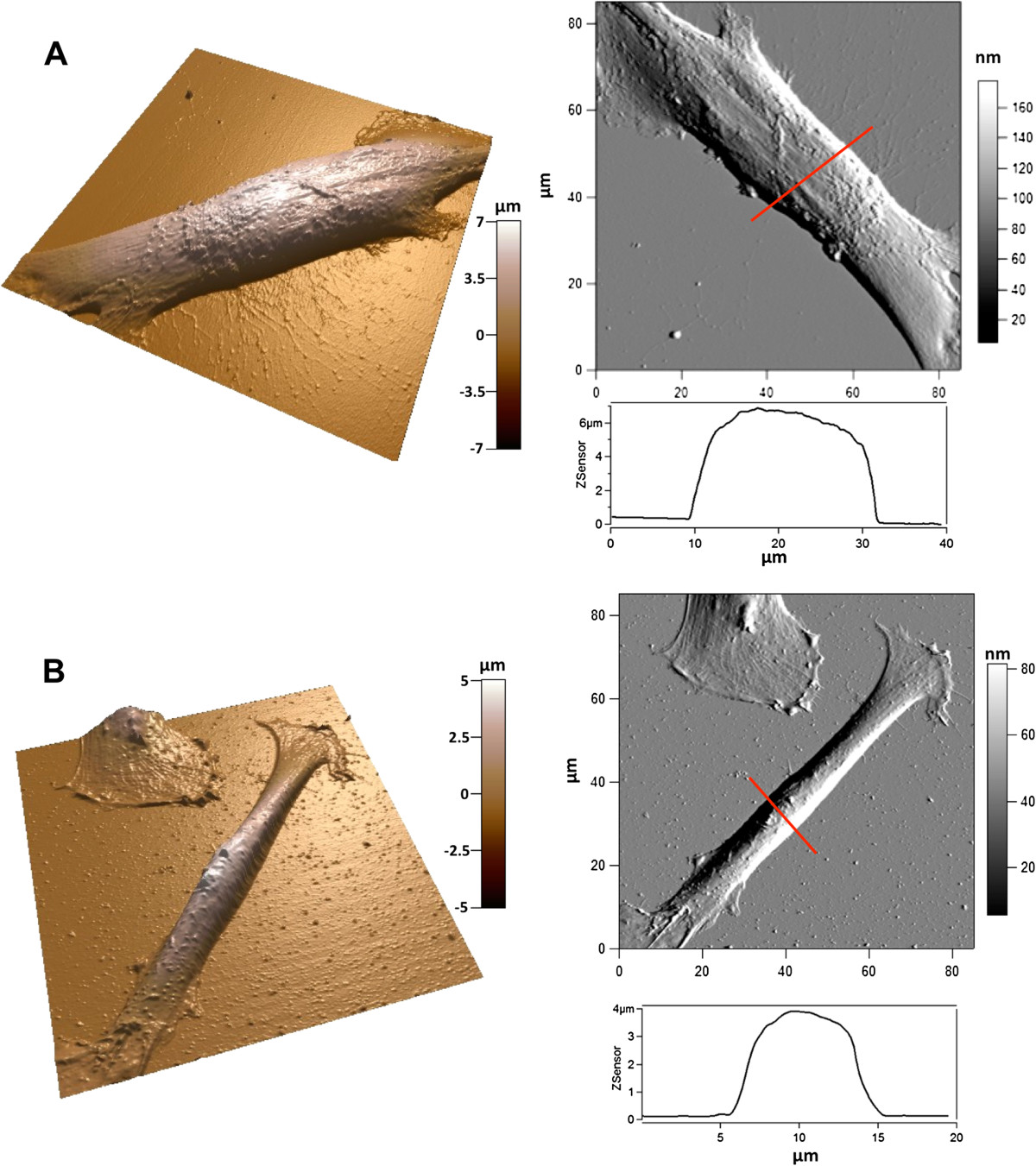 Initial stem cell adhesion on porous silicon surface