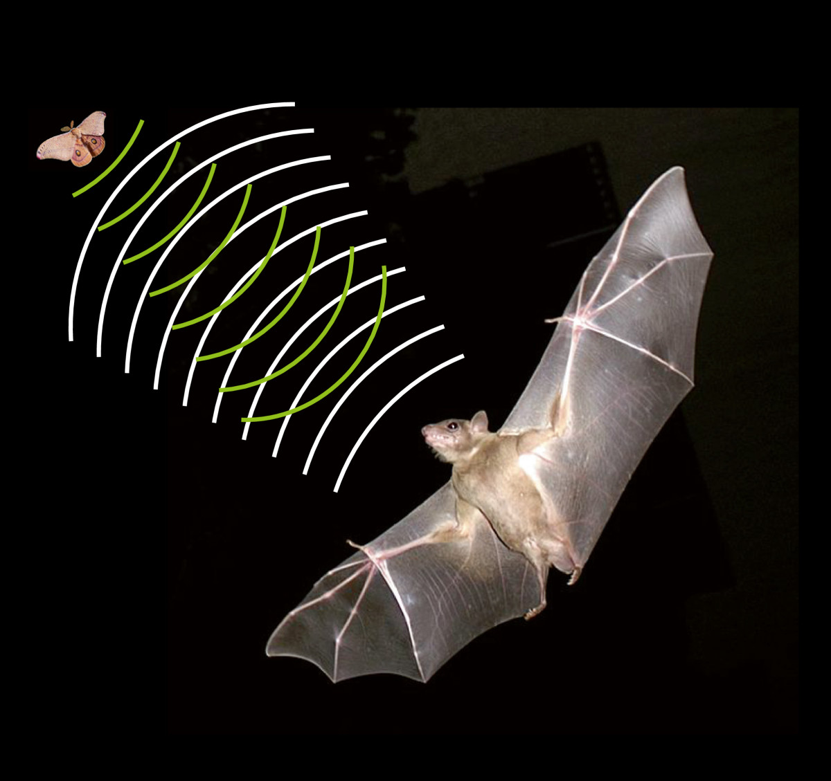 echolocation the world through a bat's Bats make calls and listen for the echoes bouncing back, then interpret the echoes to find out what is around them this ability lets them rule the night, as they in order to understand how echolocation works, you need to think about sound as a bat calls it sends out a 'wave' of sound, compressing the.