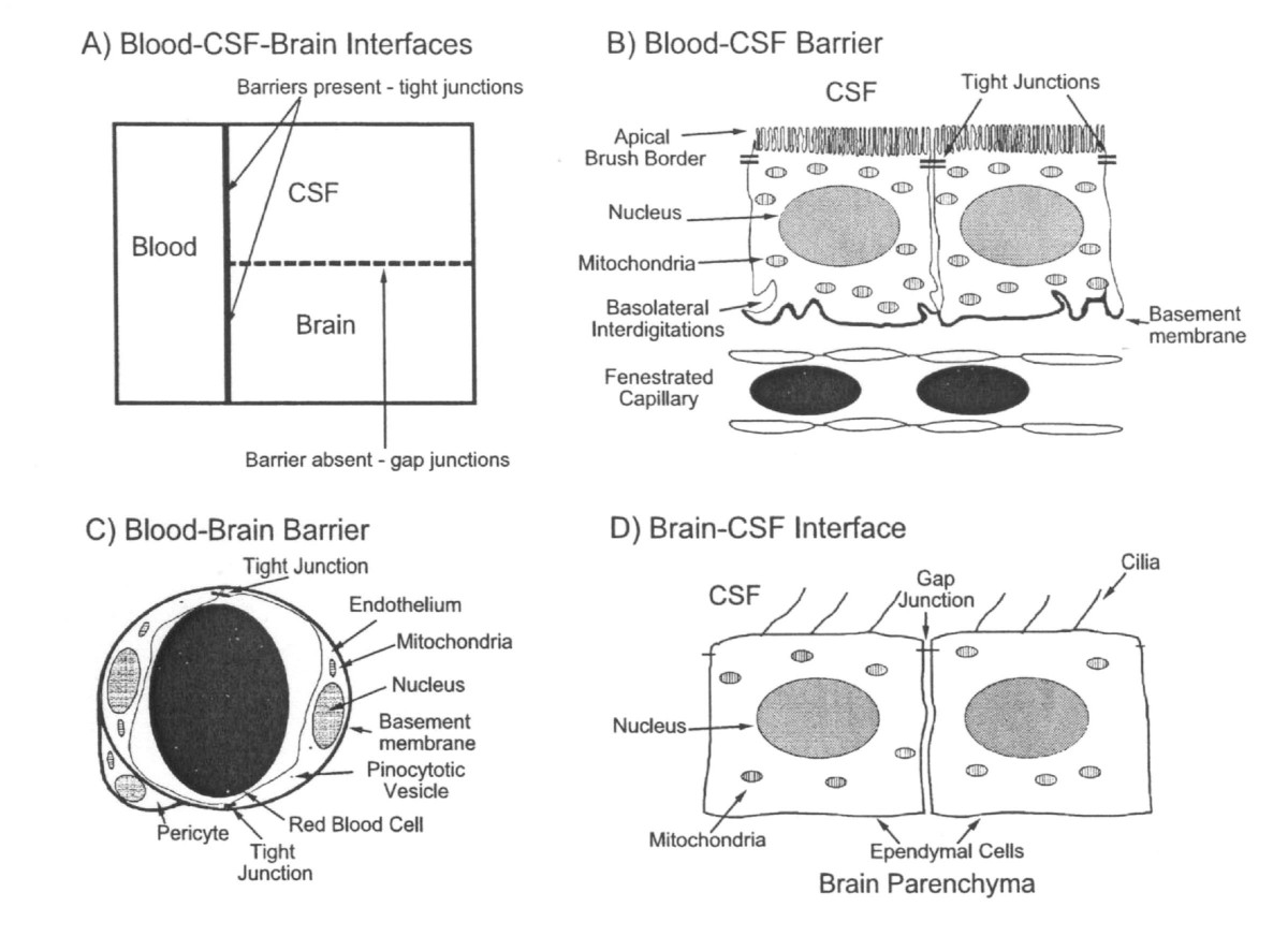 Multiplicity Of Cerebrospinal Fluid Functions New