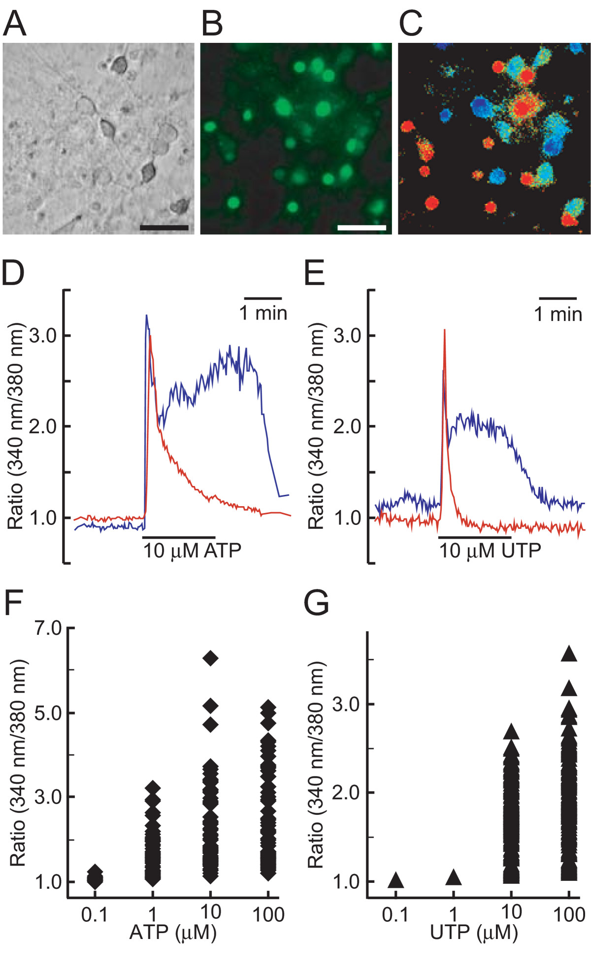 Translocation Of Neuronal Nitric Oxide Synthase To The Plasma