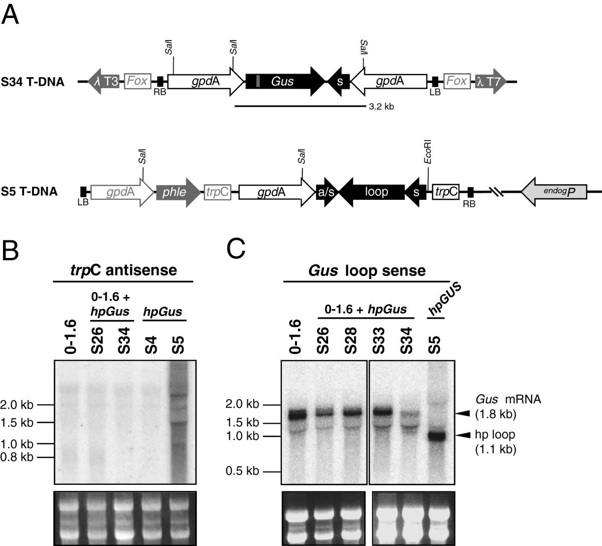 analysis of hairpin rna transgene induced gene silencing in fusarium Palindromic Hairpin RNA open image in new window