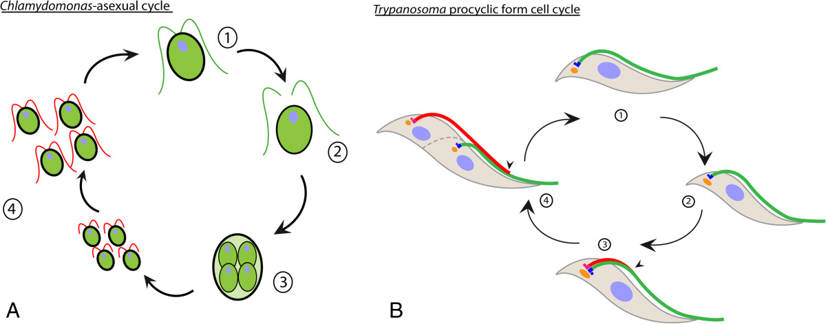 Getting To The Heart Of Intraflagellar Transport Using Trypanosoma
