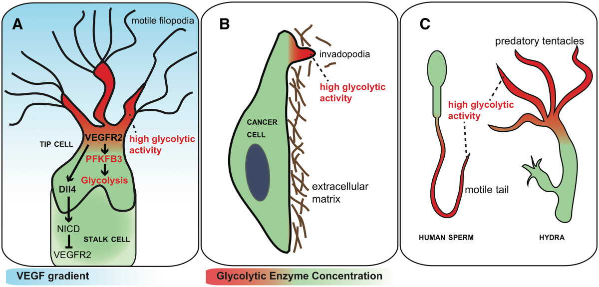 Endothelial cell metabolism: parallels and divergences with