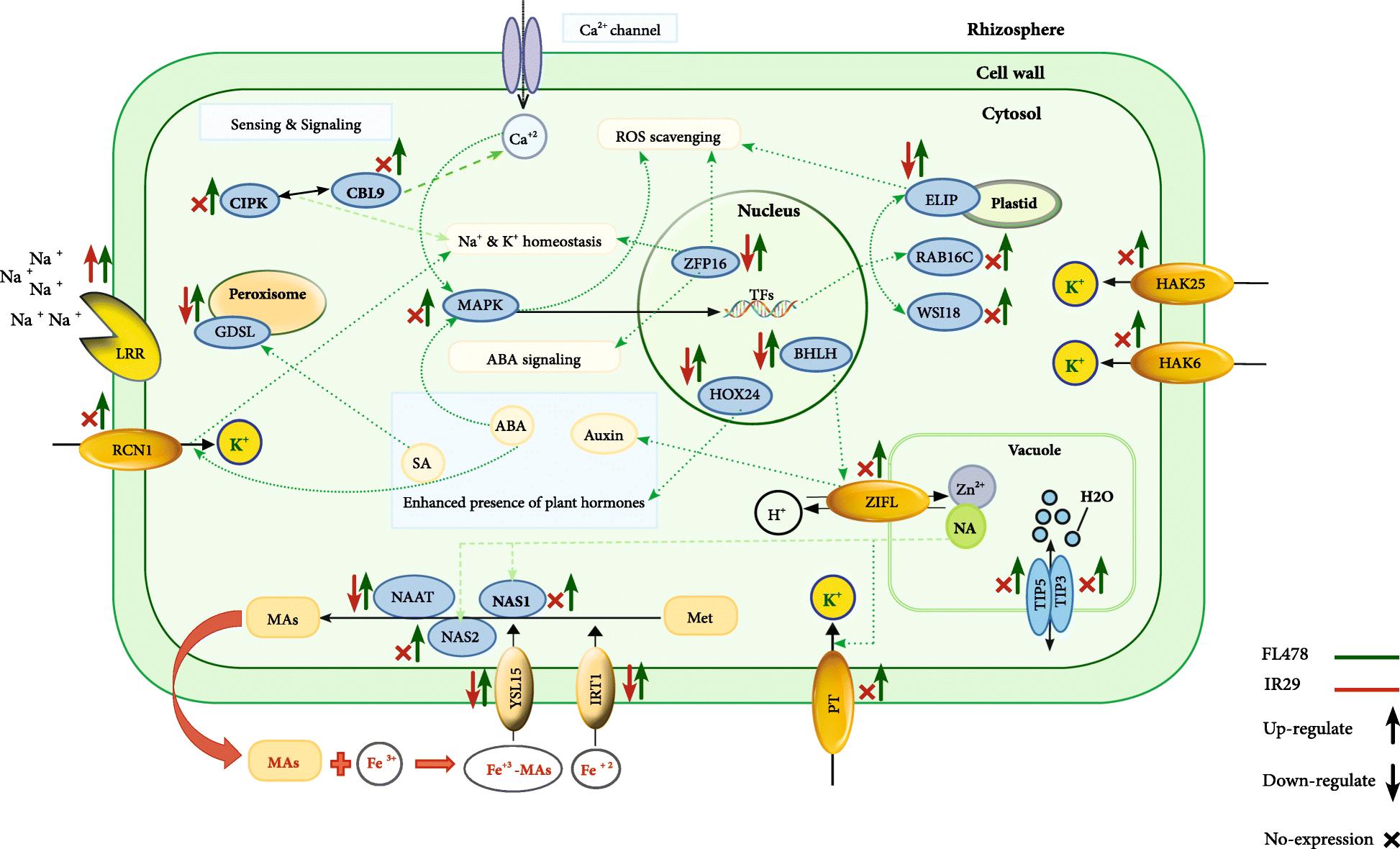 Dissecting molecular mechanisms underlying salt tolerance in