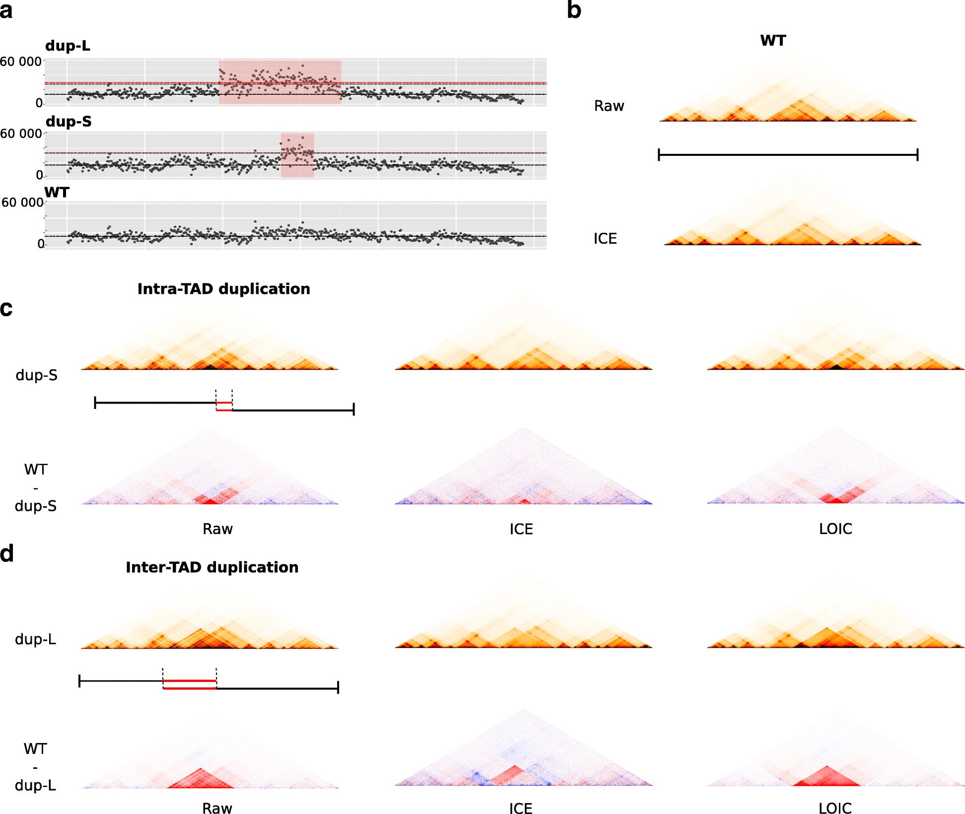 Effective normalization for copy number variation in Hi-C