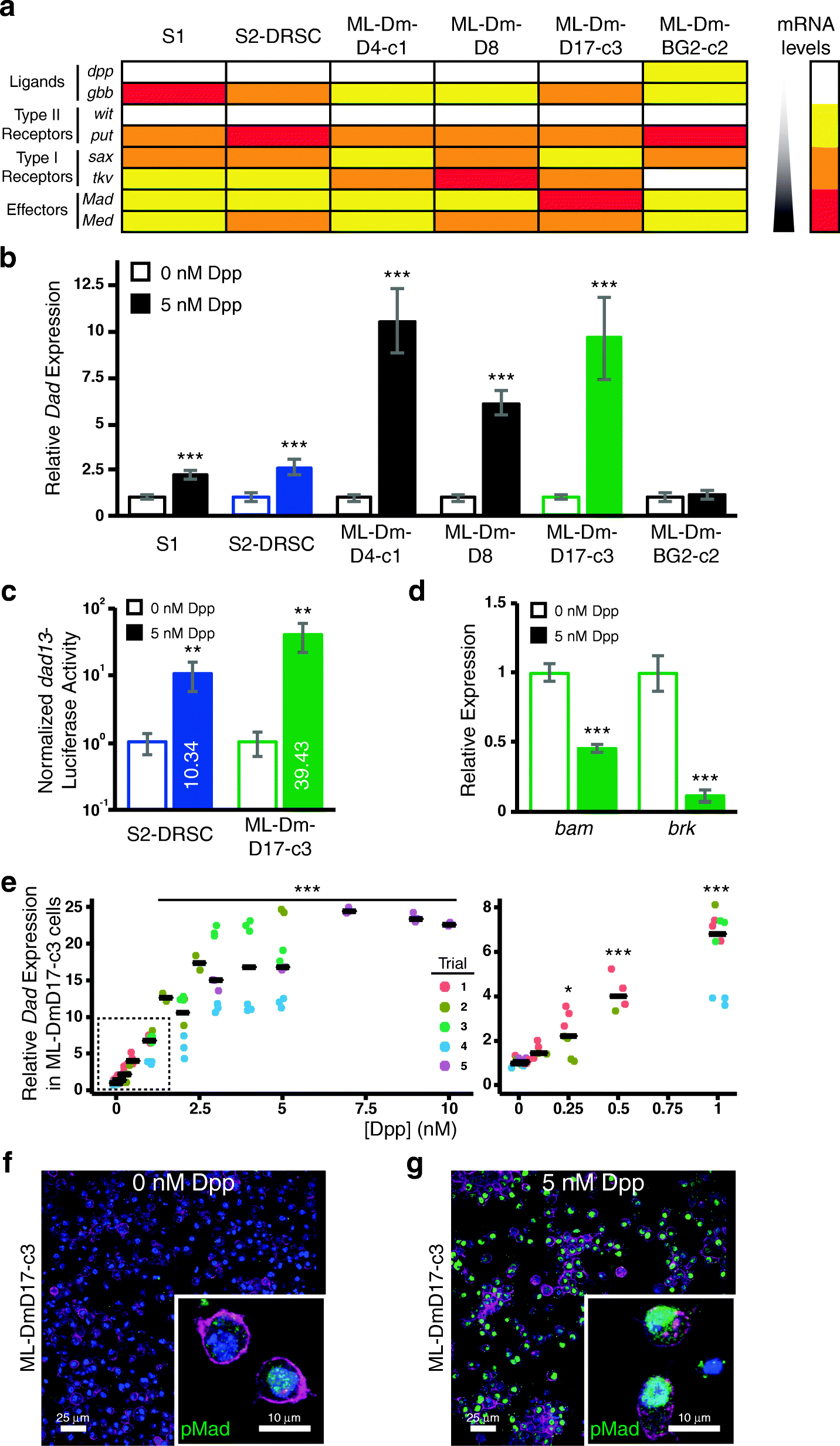 Drosophila ML-DmD17-c3 cells respond robustly to Dpp and exhibit