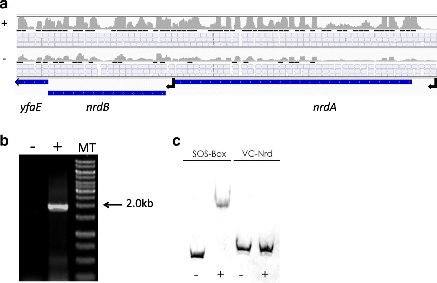 Expansion of the SOS regulon of Vibrio cholerae through extensive