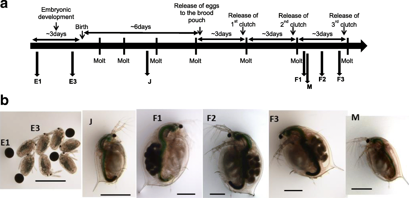 differential gene transcription across the life cycle in daphniaopen image in new window