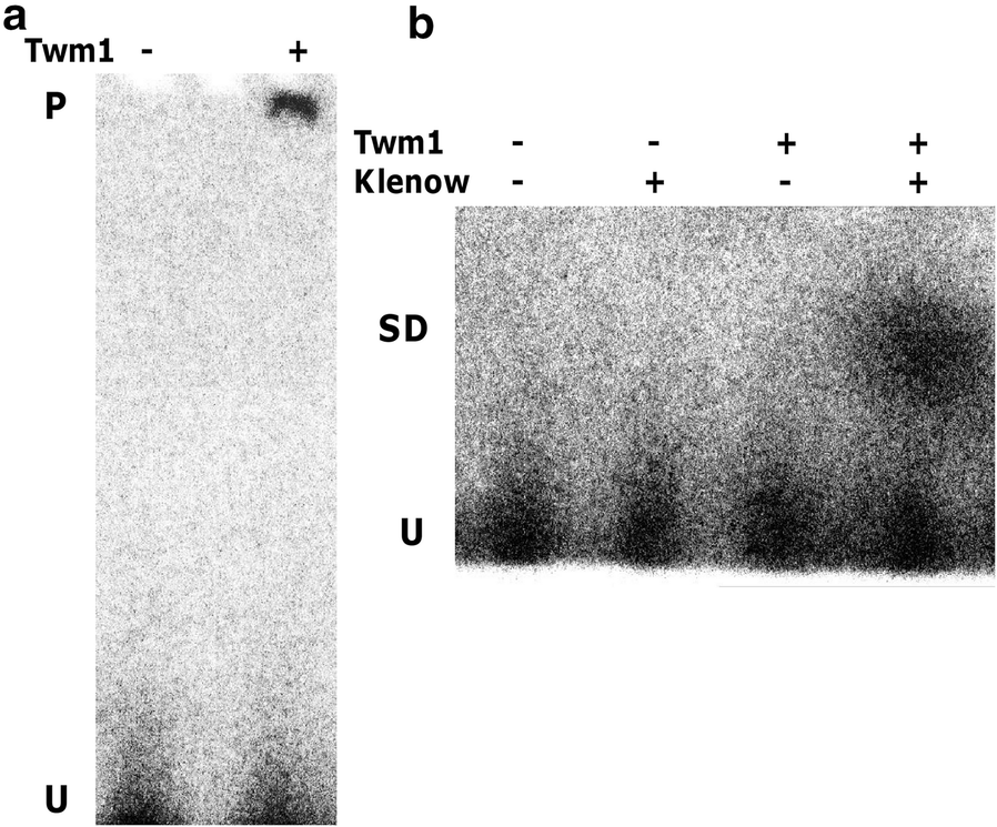 The Dictyostelium discoideum homologue of Twinkle, Twm1, is