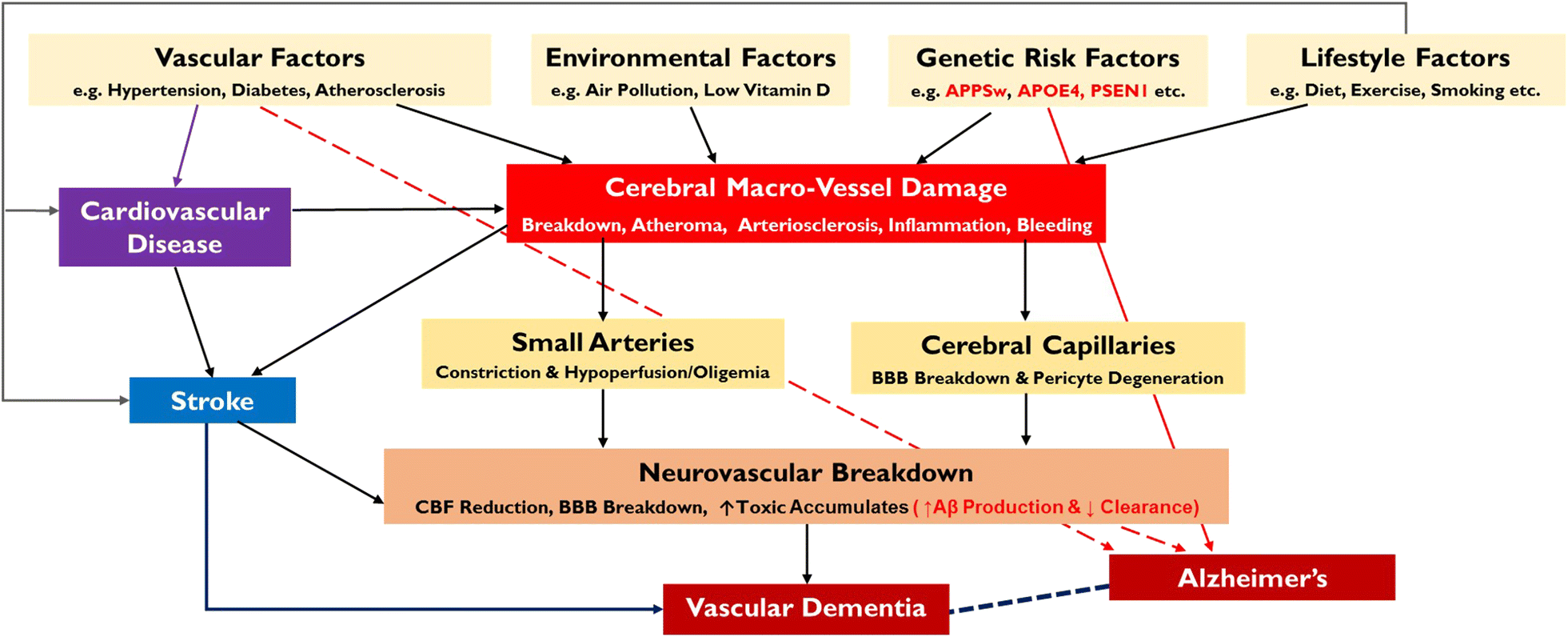 Neurovascular dysfunction in vascular dementia, Alzheimer's