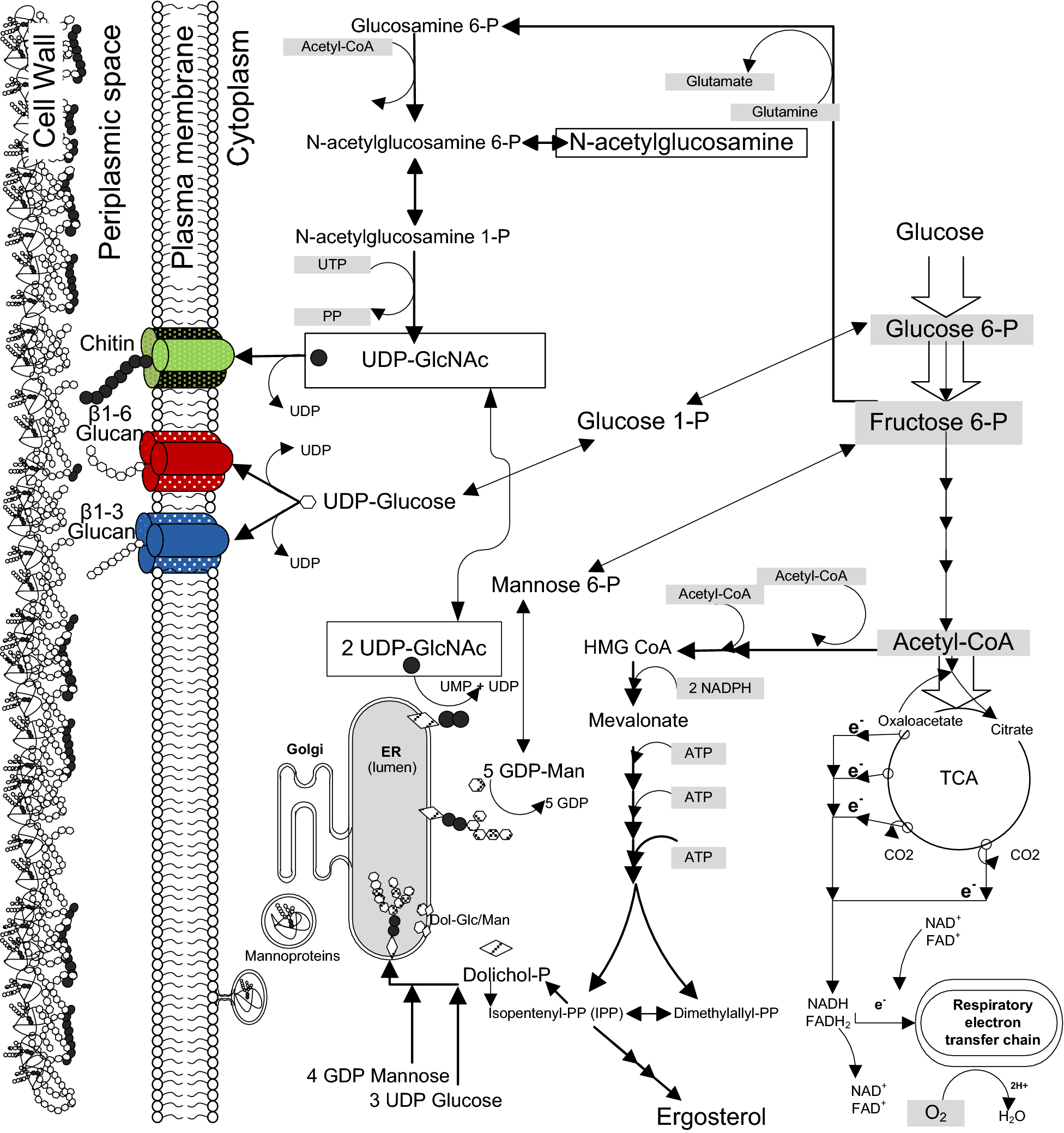 Saccharomyces cerevisiae morphological changes and