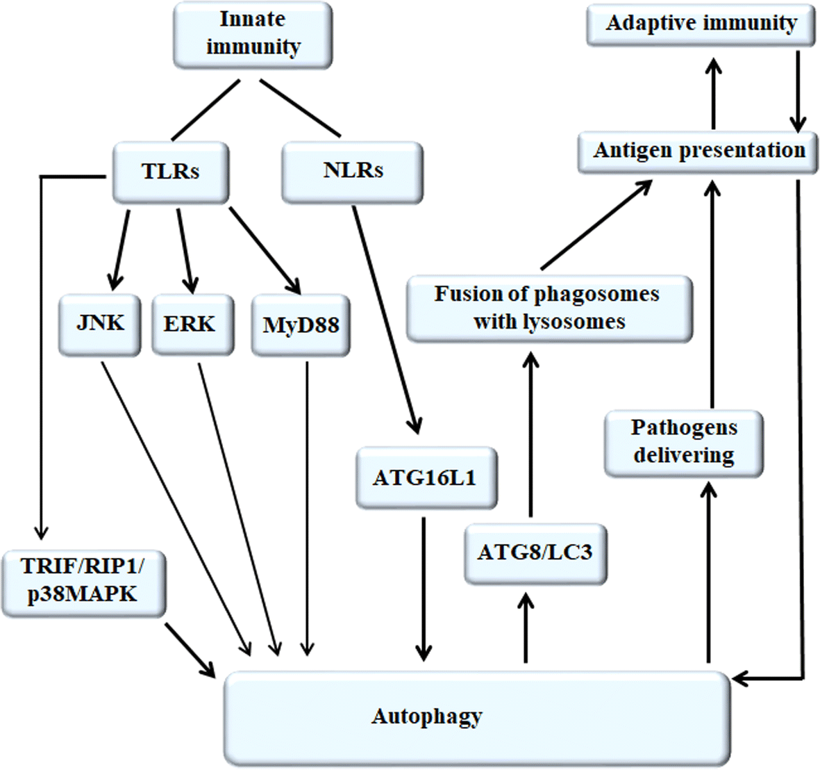 The relationship between autophagy and the immune system and its