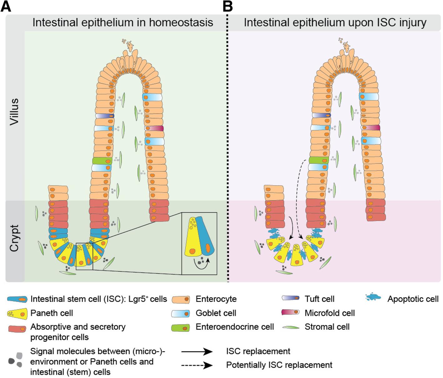 Stem cells in homeostasis and cancer of the gut   SpringerLink