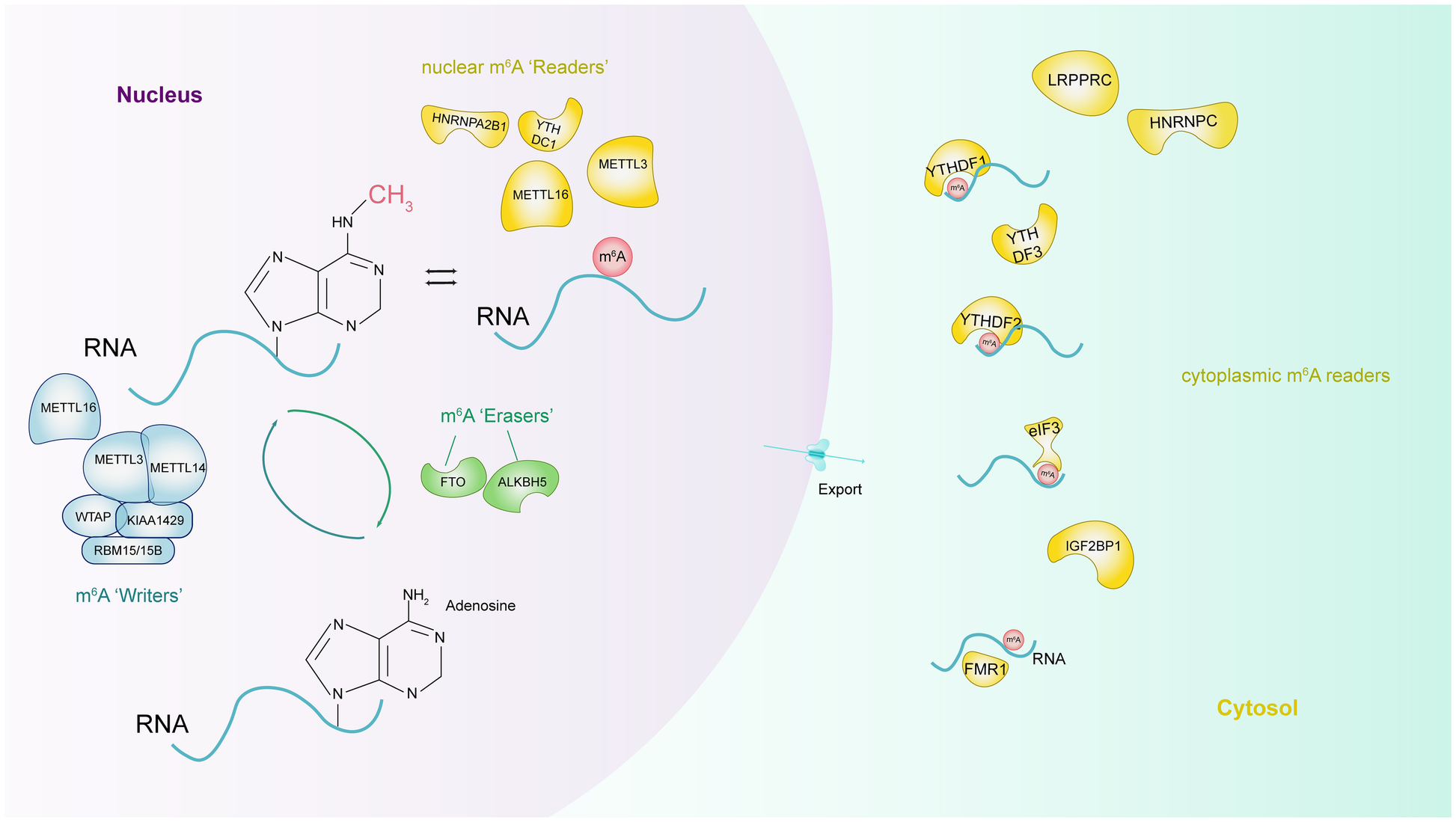 The role of m6A RNA methylation in human cancer | SpringerLink