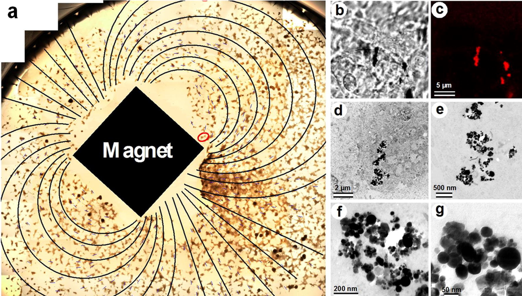Long-term live cells observation of internalized fluorescent