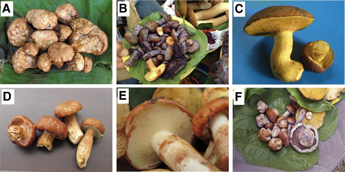 Ethnomycological knowledge among Kaqchikel, indigenous Maya