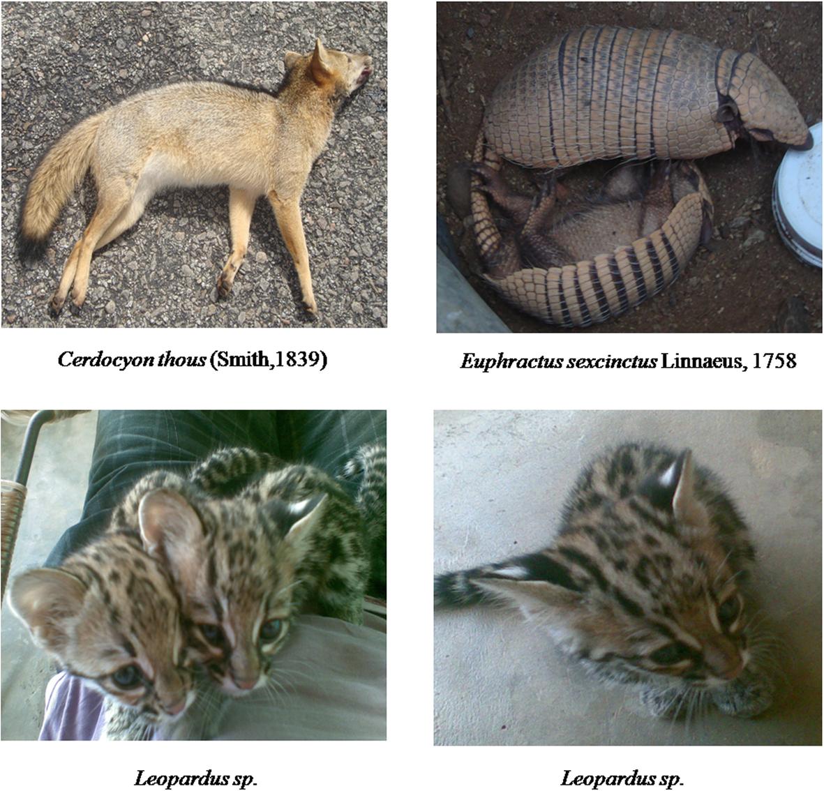 Use of mammals in a semi-arid region of Brazil: an approach