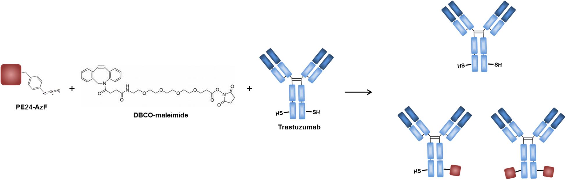 Construction of an immunotoxin via site-specific conjugation
