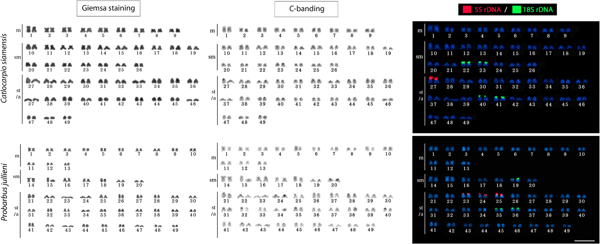 Chromosomes of Asian cyprinid fishes: cytogenetic analysis