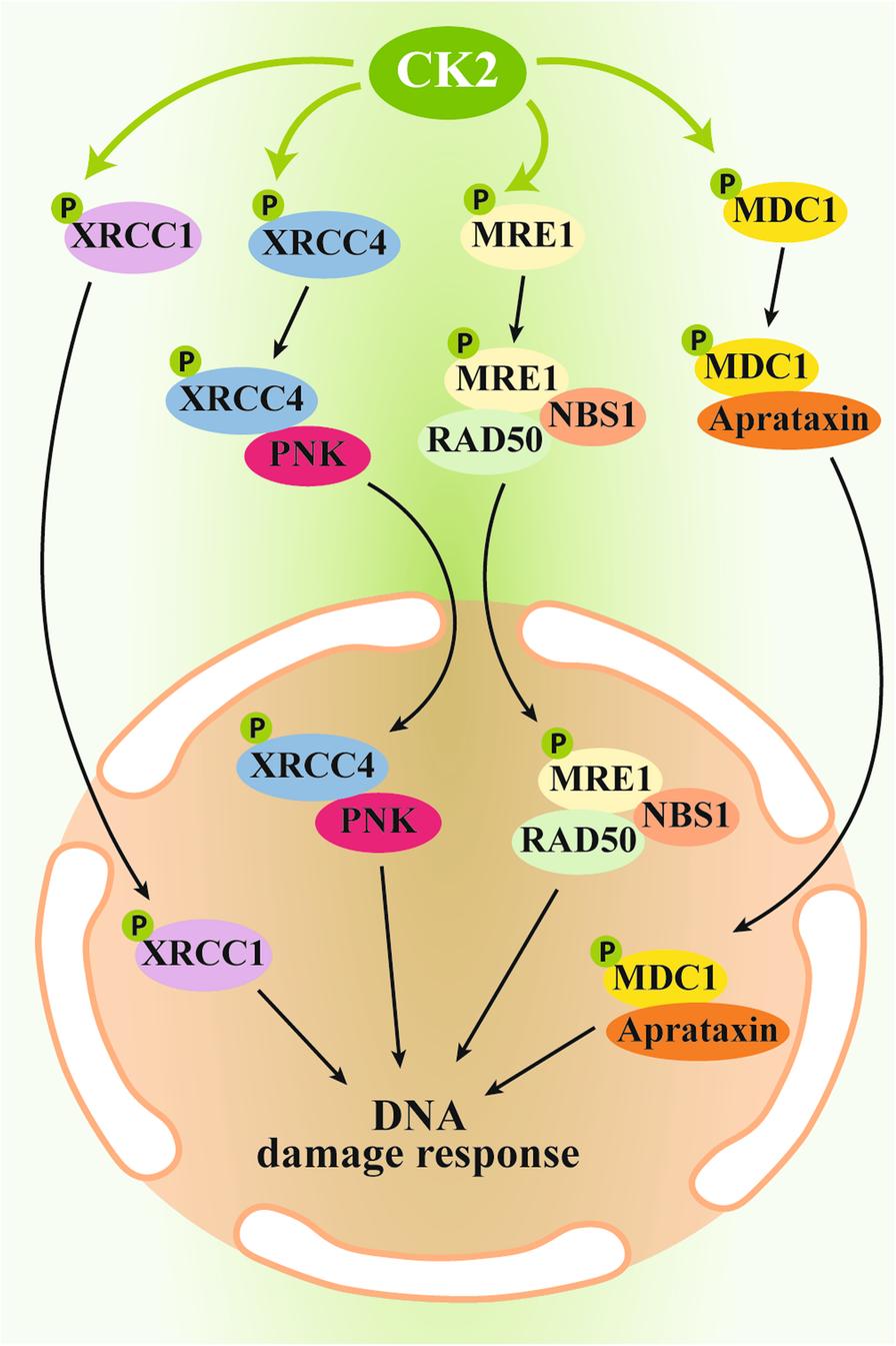 Role of protein kinase CK2 in antitumor drug resistance | SpringerLink