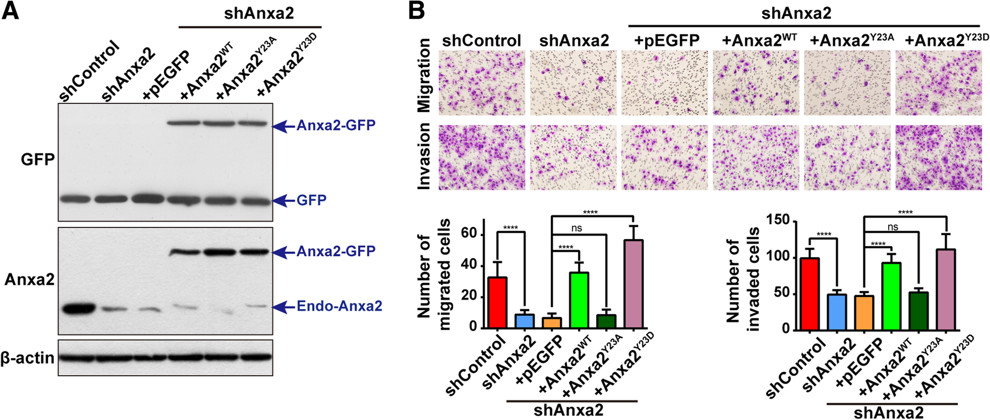 Rack1 mediates tyrosine phosphorylation of Anxa2 by Src and promotes