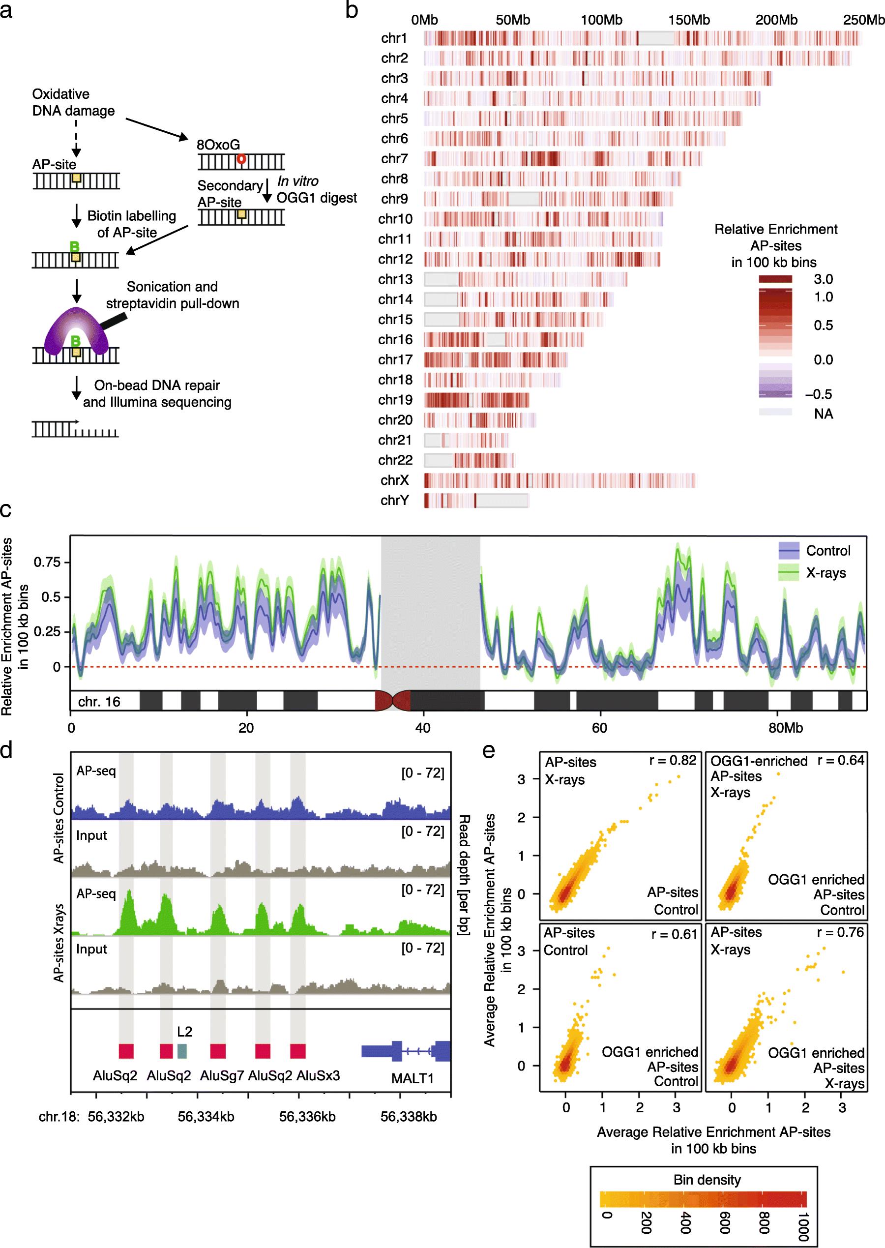 Genomic landscape of oxidative DNA damage and repair reveals