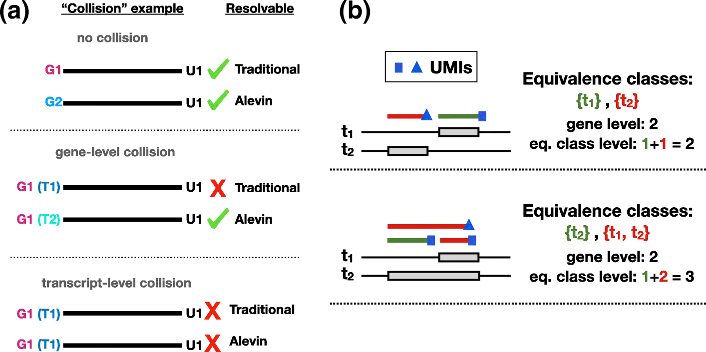 Alevin efficiently estimates accurate gene abundances from dscRNA