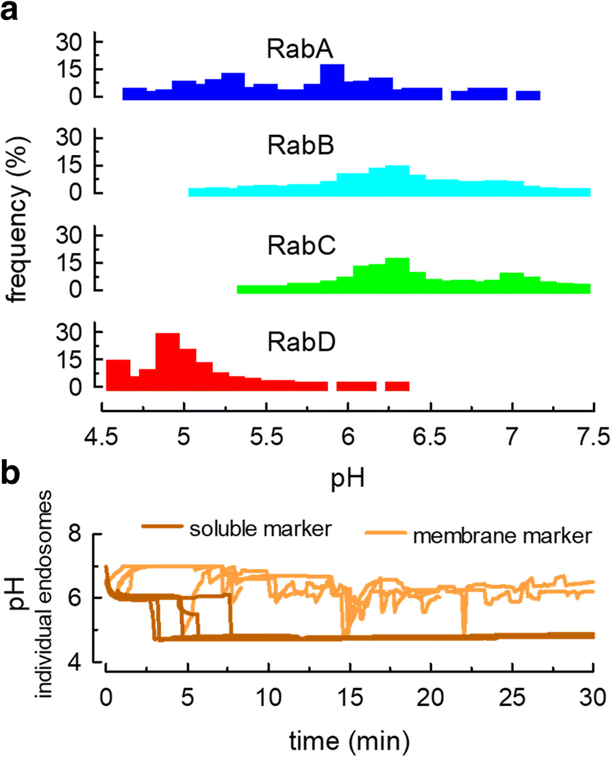 Reconstruction of endosomal organization and function by a