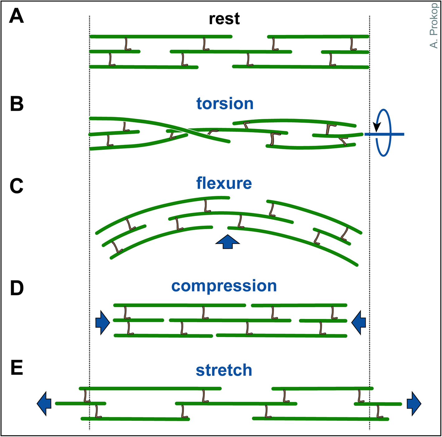 The model of local axon homeostasis - explaining the role ... on