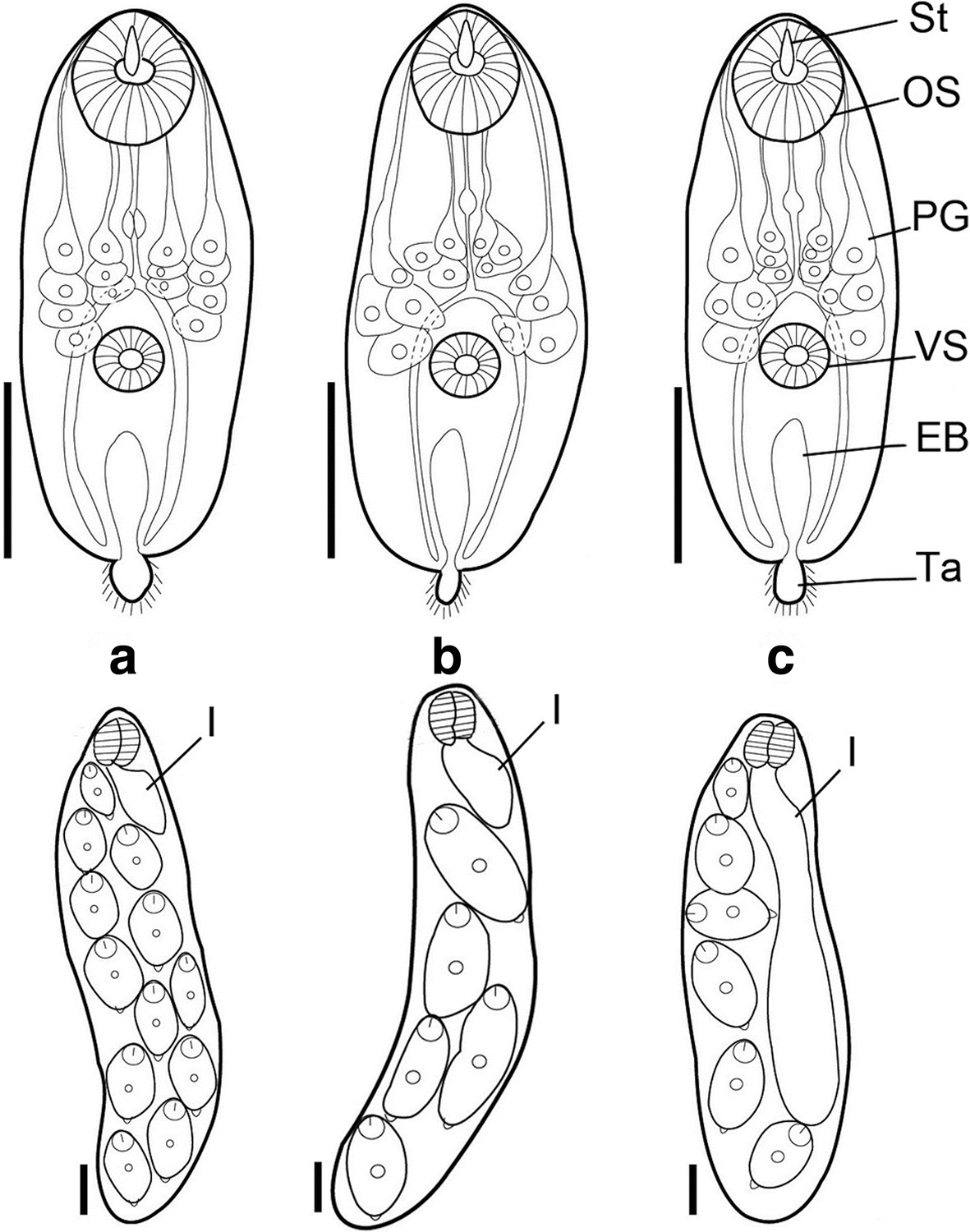 First Intermediate Hosts Of Paragonimus Spp In Vietnam And