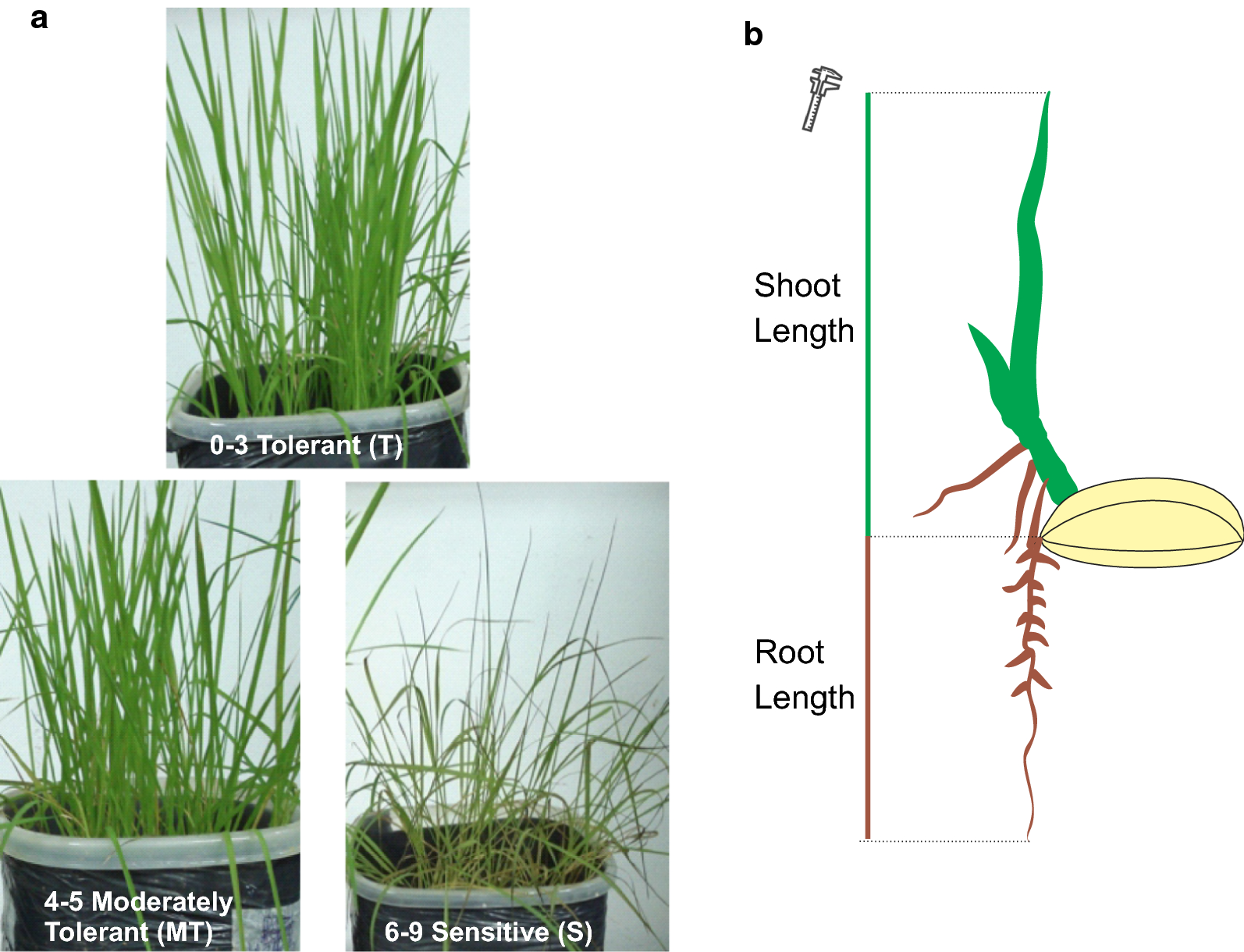 Iron tolerance in rice: an efficient method for performing
