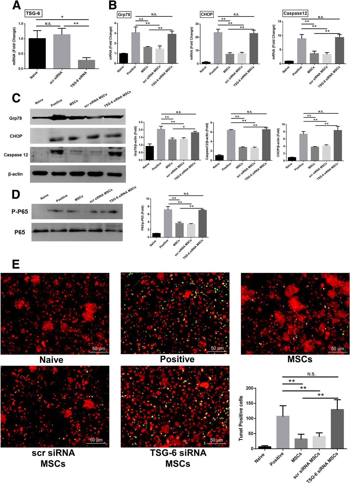 TSG-6 secreted by human adipose tissue-derived mesenchymal