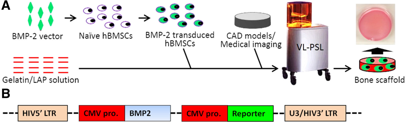 Efficient in vivo bone formation by BMP-2 engineered human