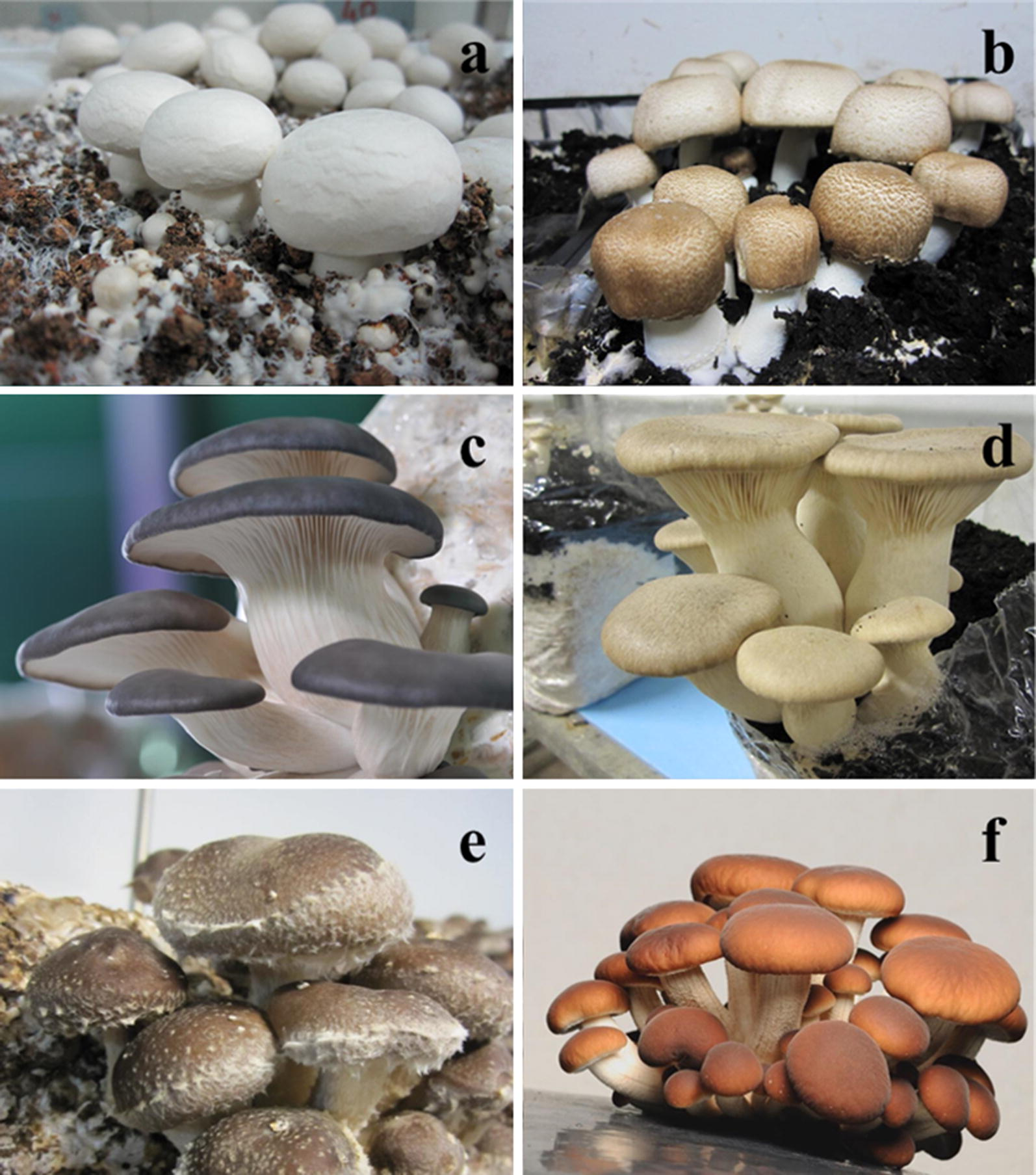 Supplementation in mushroom crops and its impact on yield