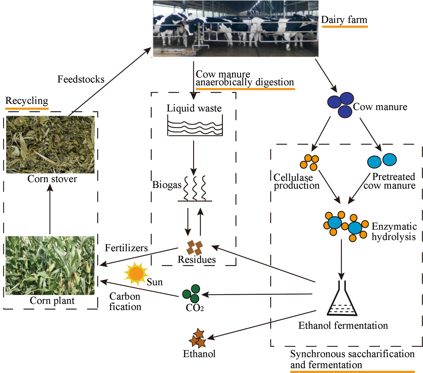 Cow manure as a lignocellulosic substrate for fungal