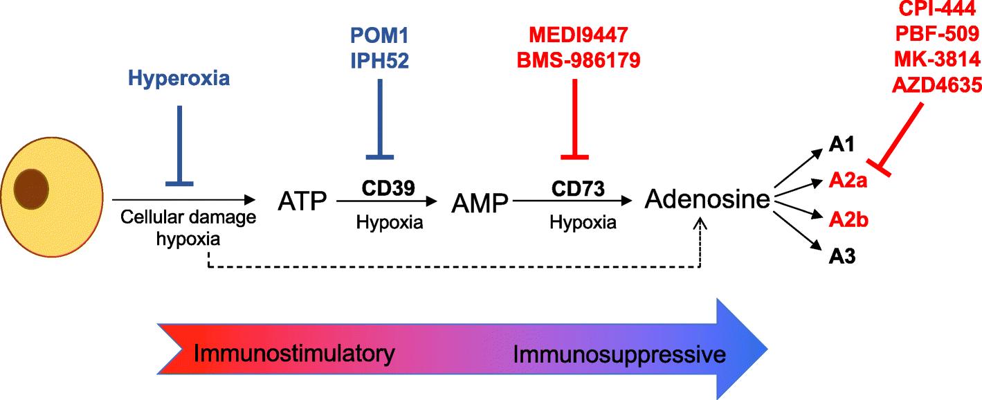 Targeting adenosine for cancer immunotherapy | SpringerLink